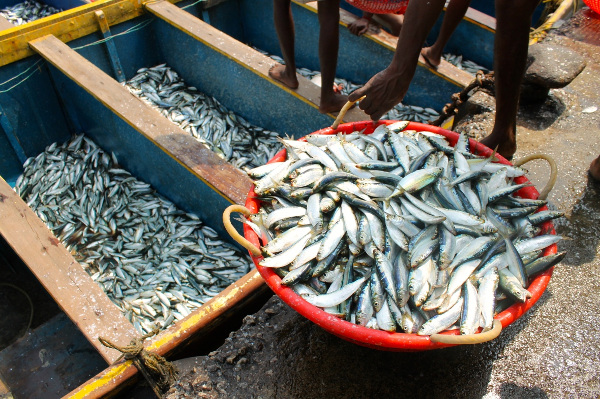 Hundreds of tonnes of sardines are caught weekly in Kerala © Nisha D'Souza