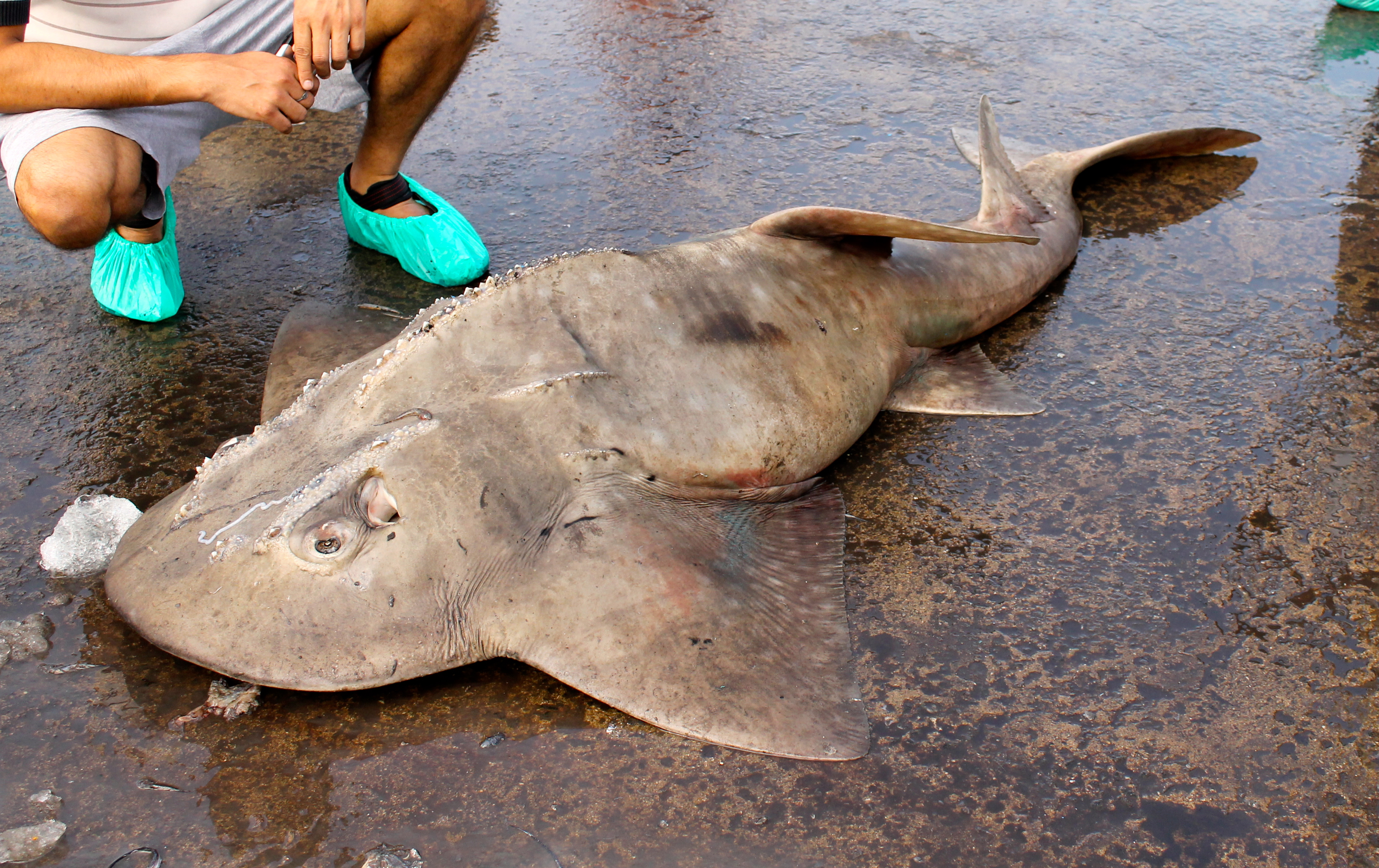 A bowmouth guitarshark, accidentally caught in a gill net © Nisha D'Souza