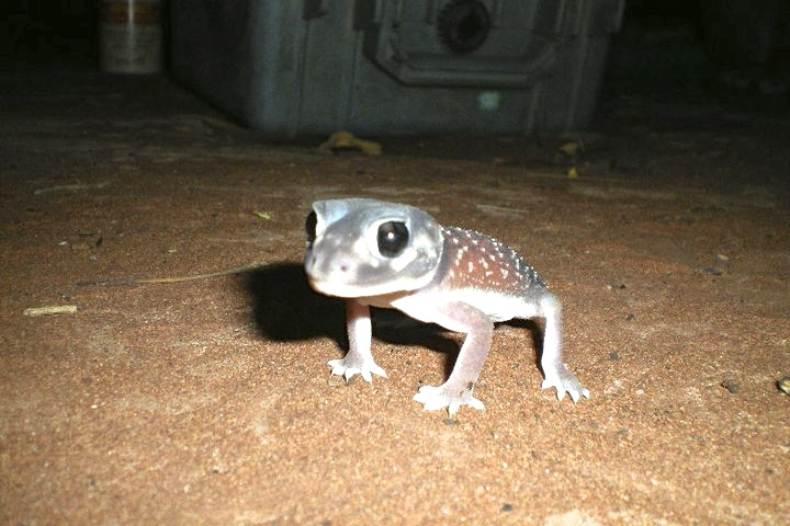 Knob-tailed Gecko © Team Goanna