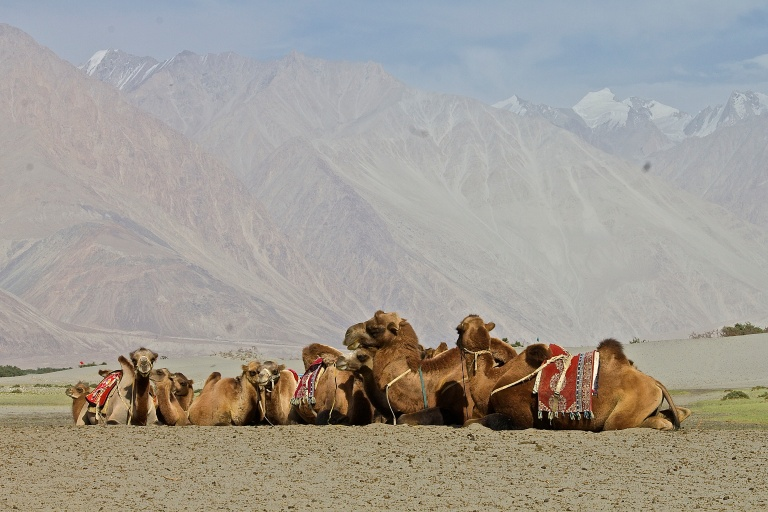 A herd of Bactrian camels sit happily in the shade of the mountains © Nisha D'Souza
