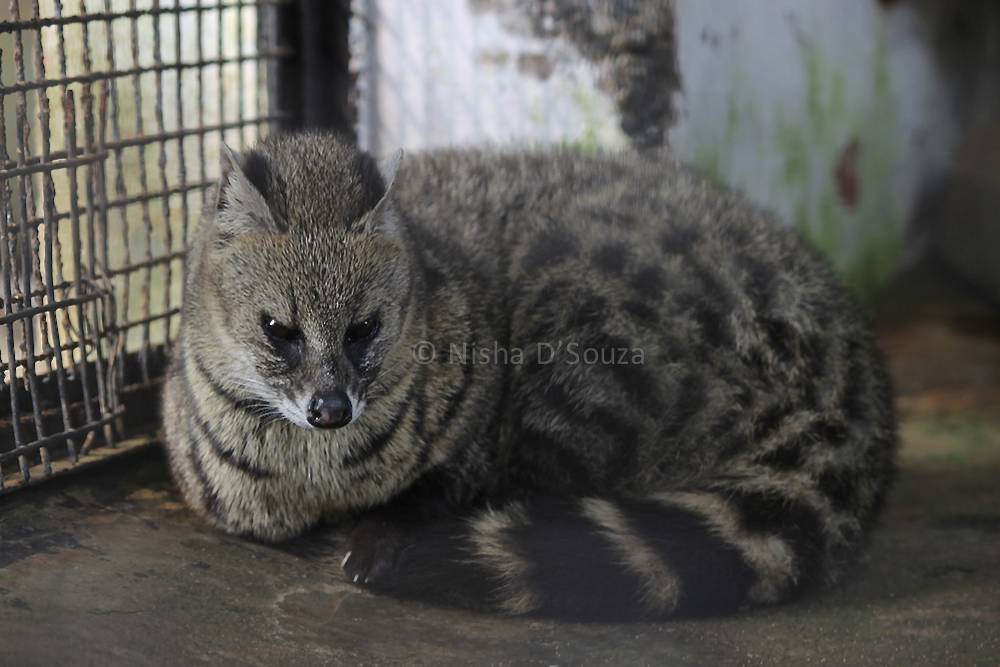 The Palm Civet did not seem to happy to be stared at © Nisha D'Souza