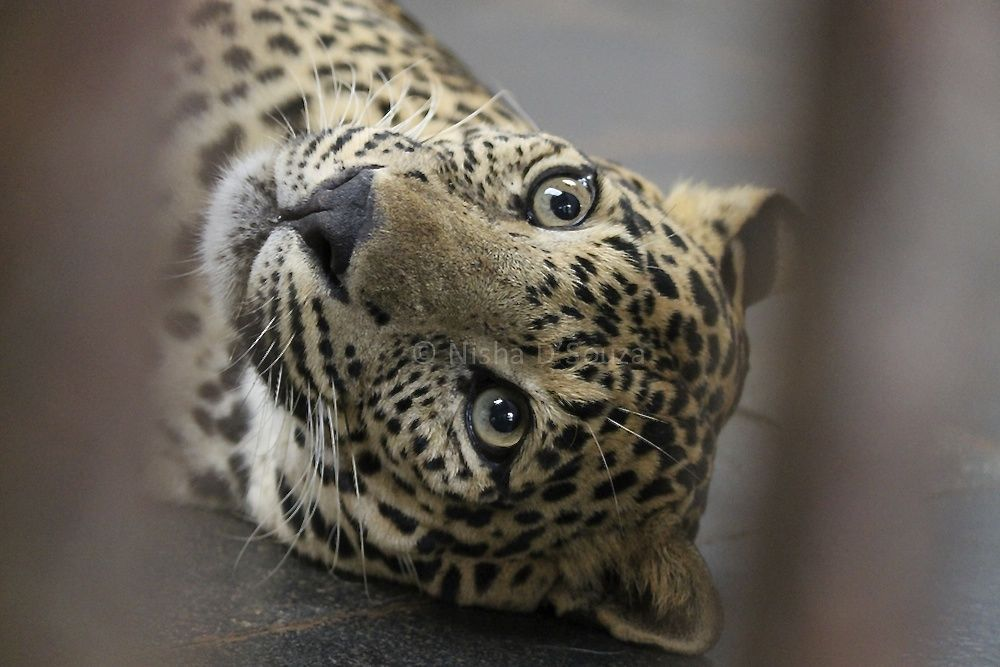 Jenny, the juvenile rescued orphan leopard is quite the heart breaker © Nisha D'Souza