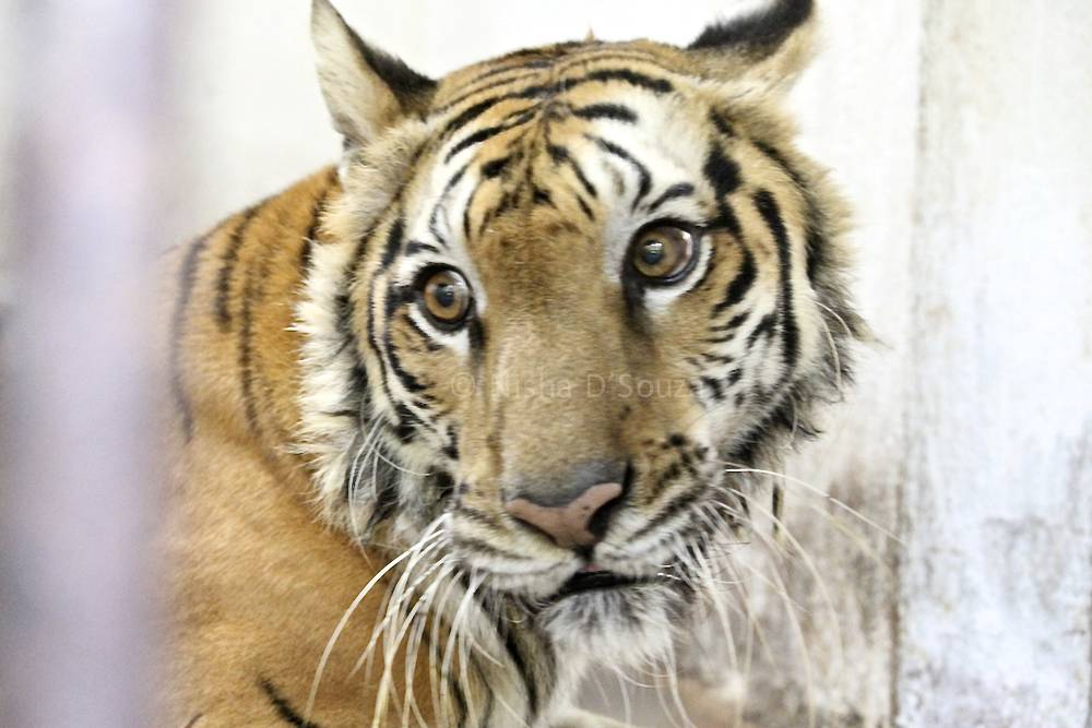Sandhya, the female tiger of the zoo, is a gentle soul © Nisha D'Souza