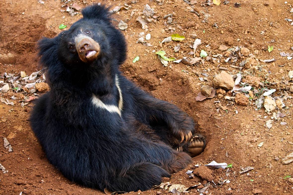 Raju the Sloth Bear built himself a hole © Nisha D'Souza