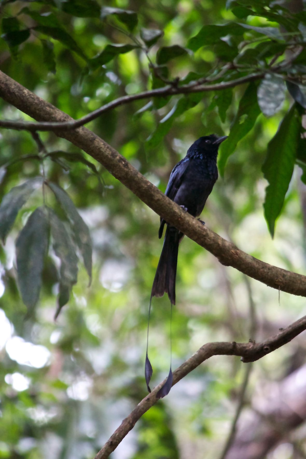 Greater Racket-tailed Drongo © Nisha D'Souza