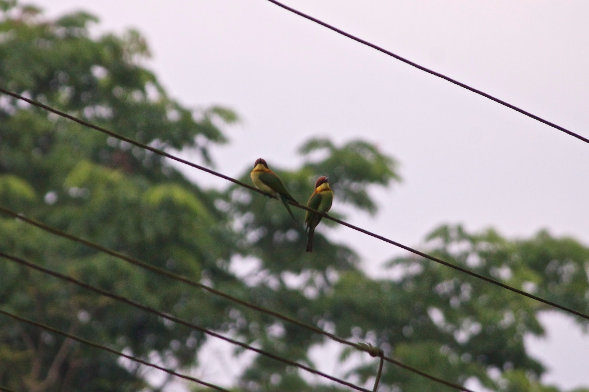 Chestnut headed bee eaters © Nisha D'Souza