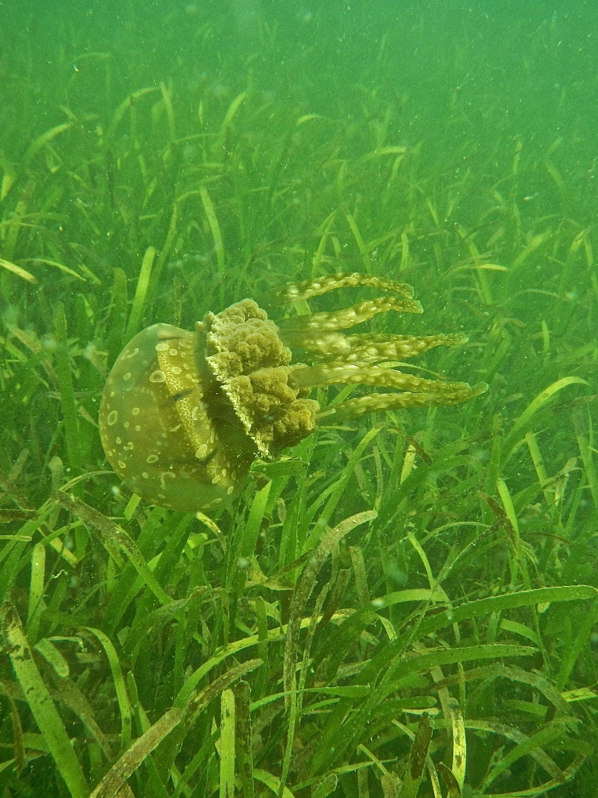 A jellyfish aimlessly drifts amongst the seagrass in Palk Bay © SDMRI