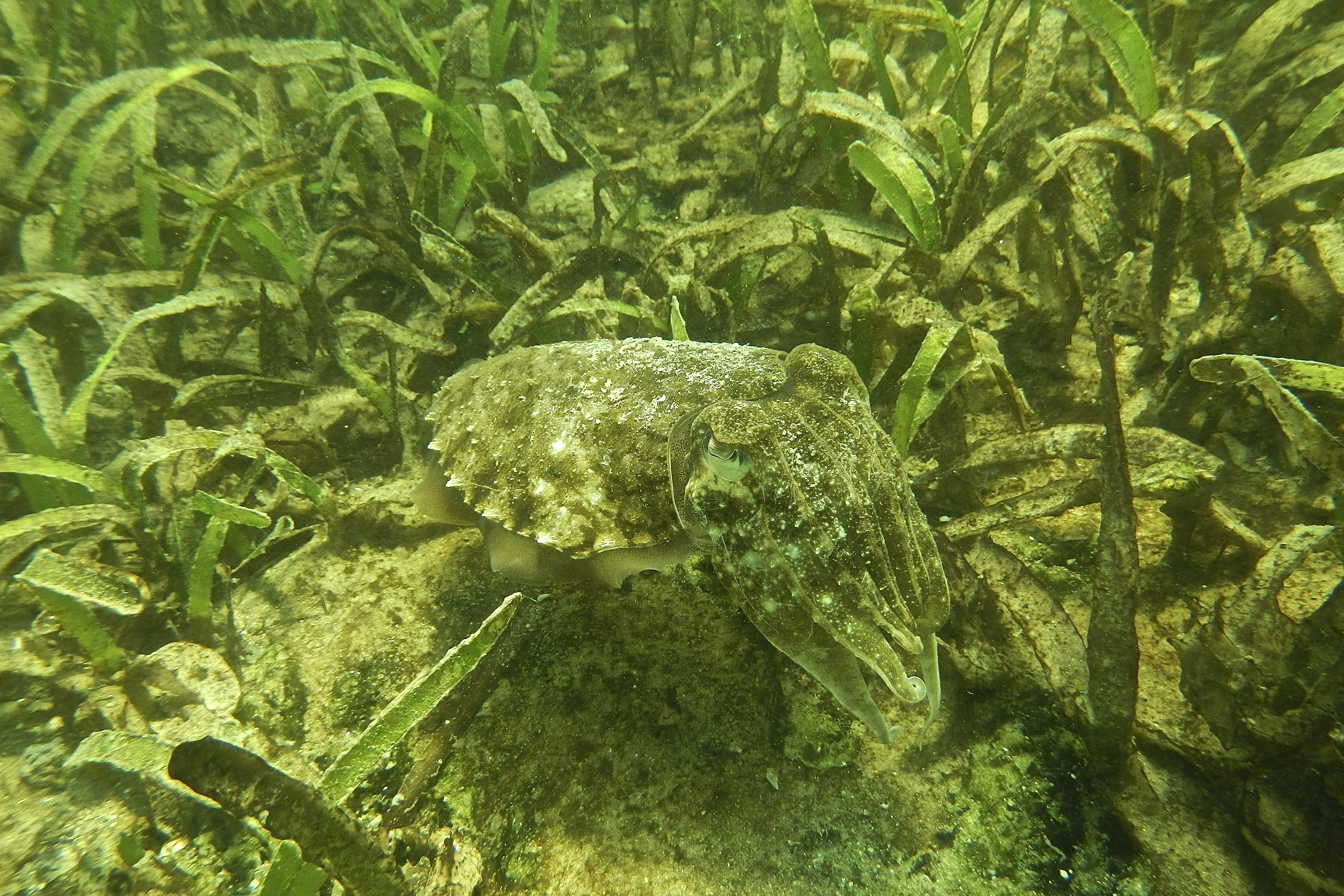 A cuttlefish, masters at adaptive camouflage, swims amongst the seagrass in Palk Bay © SDMRI