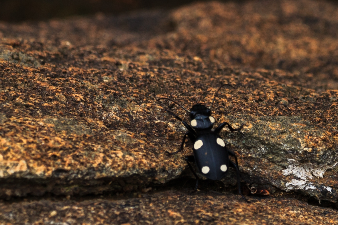 This chap is called a domino bettle because he looks like pizza! © Nisha DSouza